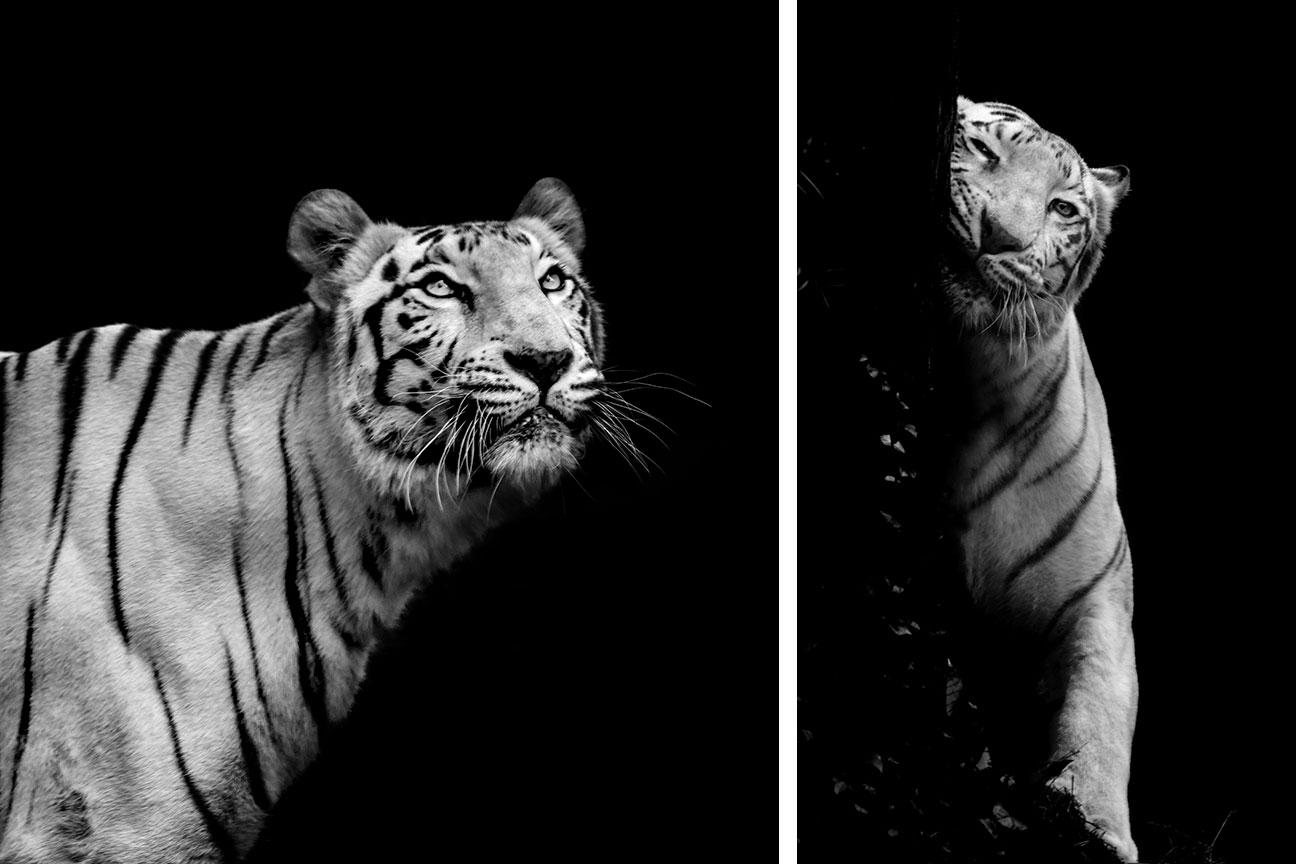 Download 10 Tiger Black And White Hd Photography Wallpaper Bisakhadatta Photography Nature And Wildlife Photography Free Online Course